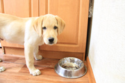 продам щенка лабрадора ретривера 3.5 мес кобель