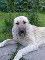 Доска объявлений животные собака алабай челябинск 11.2011г авито калужская область авто с пробегом частные объявления