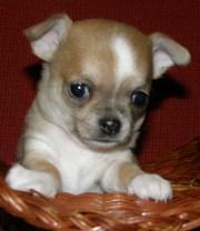 красивые щенки чихуахуа