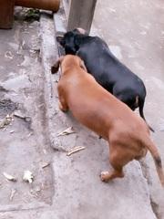 продам собак породы такса