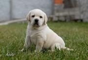 Продам щенков Лабрадора