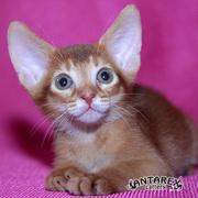 Абиссинские котята современного типа. Питомник