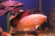 Аквариум заводской литой со взрослыми рыбами