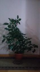 Продам комнатное растение
