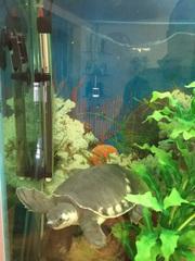 Продам пресноводную свинорылую черепаху или поменяю на рыбок