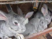 Продам крольчат.