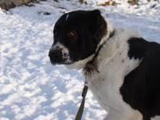 Собаки и щенки для охраны дома в Алматы