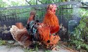 Цыплят породистых