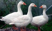 Продам 3 больших гусей