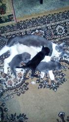 Ищу для случки кота для кошки