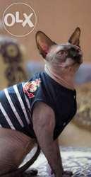 продам котят канадского сфинкса и шотландских вислоухих