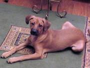 семимесячный рыжий пес Бельмандо помесь с риджбеком