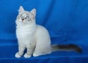 Сибирские,  Невские маскарадные котята