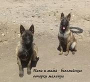 Продам элитных щенков бельгийской овчарки малинуа