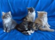Сибирские великаны -  котята