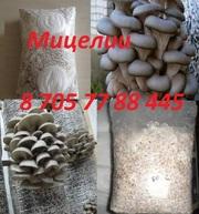 Мицелии вешанки (Семена грибов) в Алматы