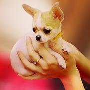 Питомник собак мелких пород