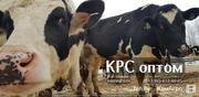 Продажа высокопродуктивных коров молочных пород оптом живым весом