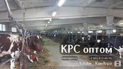 Продаем племенной молочный скот Айрширской и Холмогорской пород