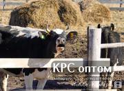 Высокопродуктивный товарный скот молочных пород