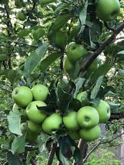 Яблоневый сад 2 га в с.Азат